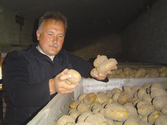 Anot A. Elijošiaus, dėl vidurvasario sausros ir gausių kritulių po jos Šilutės rajono laukuose užderėjo maždaug trečdaliu mažiau bulvių. (Oresto Lidžiaus nuotr.)