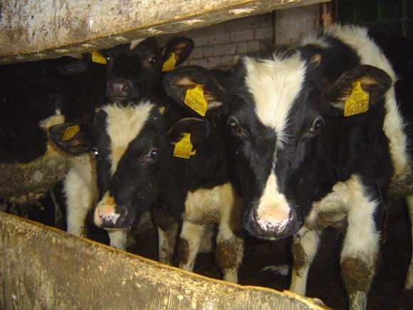 Kai kurie Šilutės Naujakurių kvartalo gyventojai savo ankštuose sklypuose įsigudrina laikyti po 10 ir daugiau gyvulių. (Oresto Lidžiaus nuotr.)