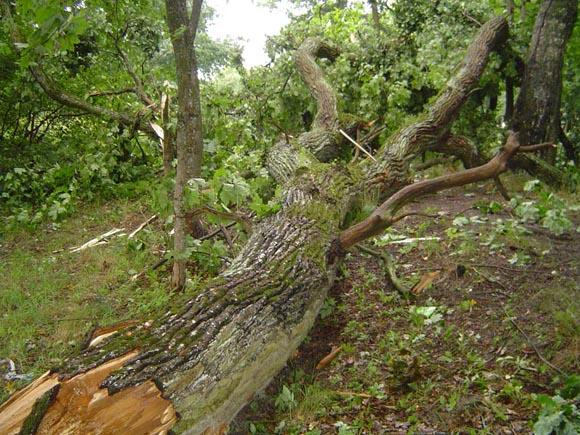 Šyšos upės pakrantėje, ties miesto parku, vėtra nulaužė galiūną ąžuolą. (Oresto Lidžiaus nuotr.)