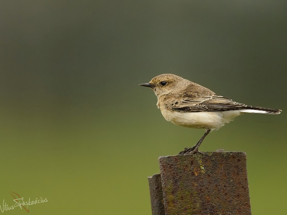 Margasis kūltupys. (Viliaus Paškevičiaus, www.birdlife.lt, nuotr.)