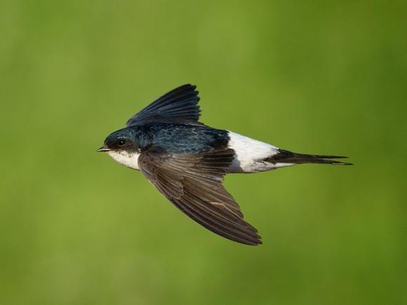 Langinė kregždė. (Viliaus Paškevičiaus, www.birdlife.lt, nuotr.)