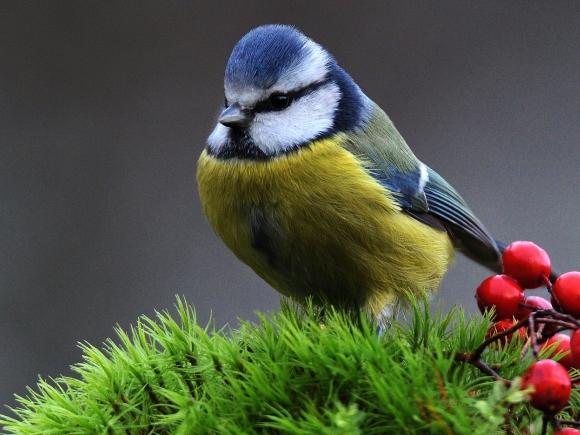 Mėlynoji zylė. (A. Skirpsto, www.birdlife.lt, nuotr.)