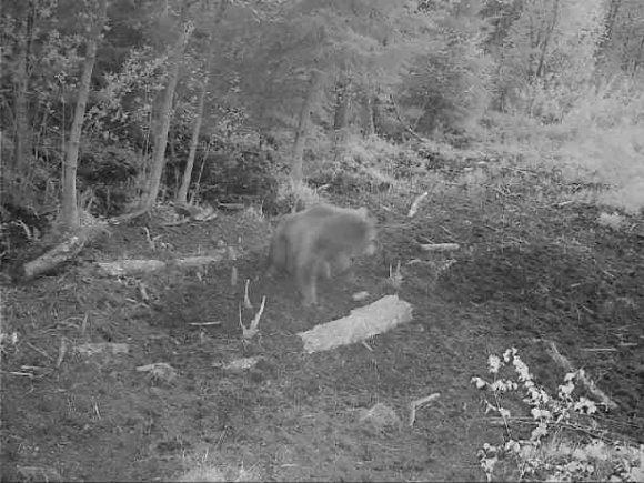 Medžiotojų klubo 'Ąžuolas' įtaisyta kamera užfiksavo laukinėje gamtoje vaikščiojančią mešką.